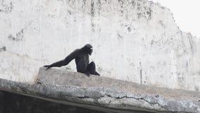 Monkey l'hurleur, zoo à New Delhi, Inde banque de vidéos