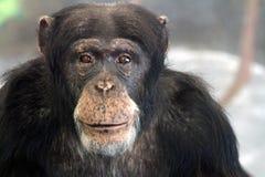 Monkey la cara Foto de archivo libre de regalías