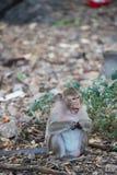 Monkey la consumición de la comida en la tierra, mono Tailandia Fotos de archivo