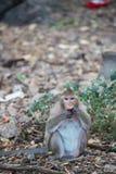 Monkey la consumición de la comida en la tierra, mono Tailandia Foto de archivo