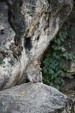 Monkey la consumición de la comida en la tierra, mono Tailandia Imágenes de archivo libres de regalías