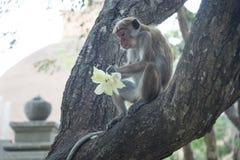 Monkey la consumición de las ofrendas, Anuradhapura, Sri Lanka Fotografía de archivo libre de regalías
