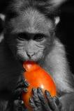 Monkey la consumición de un tomate, goa, la India Foto de archivo libre de regalías