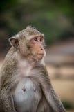 Monkey la consumición y divertirse en el templo de Ankor Wat. Fauna de Asia. Imagen de archivo