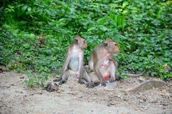 Monkey la famille sur la terre dans la forêt chez Hot Springs pongkrating Photos stock