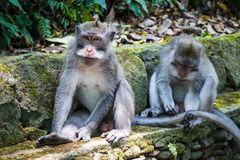 Monkey la foresta, Ubud, Bali, Indonesia immagine stock