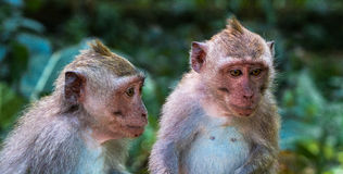 Monkey la foresta, Ubud, Bali, Indonesia Fotografia Stock