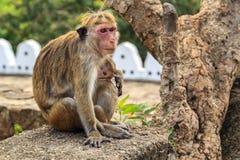 Monkey la mère avec le bébé s'asseyant sur des pierres sur un fond de forêt Image stock