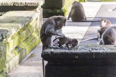 Monkey la madre che prende la cura del suo bambino su Bali Fotografia Stock