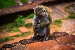 Monkey la seduta in biscotto della mano della tenuta e di Sigiriya, Sri Lanka Fotografia Stock Libera da Diritti