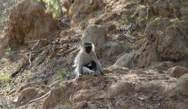 Monkey la seduta con il suo bambino e l'osservazione intorno Fotografie Stock