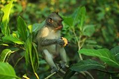 Monkey la seduta nell'albero che tiene un mandarino Immagini Stock