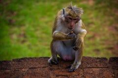 Monkey la seduta in Sigiriya e mangi, lo Sri Lanka Fotografie Stock