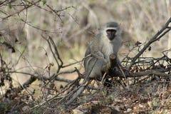 Monkey la seduta su un albero e l'osservazione intorno Immagini Stock Libere da Diritti