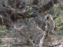 Monkey la seduta su un albero e l'osservazione intorno Fotografie Stock