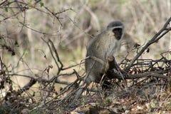 Monkey la seduta su un albero e l'osservazione intorno nella savanna Immagini Stock Libere da Diritti