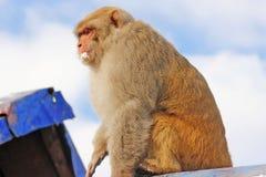 Monkey la seduta sul tetto e lo sguardo mentre mangiano la neve immagini stock