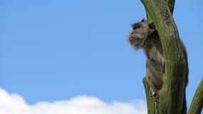 Monkey la seduta in un albero che esplora fra le nuvole Fotografia Stock