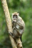 Monkey la serie Fotografie Stock