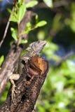 Monkey lala (basilisk) Royalty Free Stock Photo