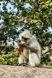 Monkey Langur eats banana. Amer Fort. India royalty free stock photography