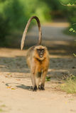 Monkey - langur. Gray langurs or Hanuman langurs, the most widespread langurs of South Asia, are a group of Old World monkeys constituting the entirety of the Royalty Free Stock Images