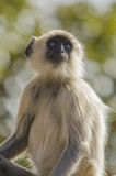 Monkey - langur. Gray langurs or Hanuman langurs, the most widespread langurs of South Asia, are a group of Old World monkeys constituting the entirety of the Stock Photos