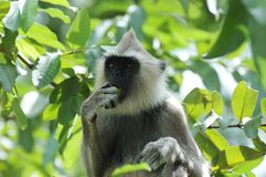 Monkey (langur gris) manger d'un fruit Images stock