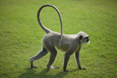 Monkey langur or hanuman on the green grass in Ind Stock Image