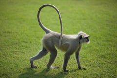 Monkey Langur oder hanuman auf dem grünen Gras in Ind Stockbild