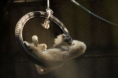 Monkey lay on tire looking elsewhere royalty free stock photos
