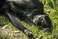 Monkey. Lazy monkey in zoo Stock Photos