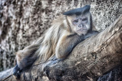 Monkey. Lazy monkey at zoo Royalty Free Stock Photo