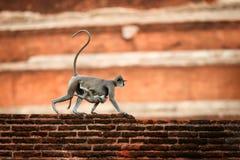 Monkey le bébé de transport de mère sur l'estomac, langur gris Photographie stock