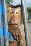 Monkey le baillement de noix de coco de Macaque Images stock