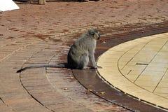 Monkey le boire à une piscine à un terrain de camping en parc national de Pilanesberg Photo stock