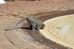 Monkey le boire d'une piscine à un terrain de camping en parc national de Pilanesberg Image libre de droits
