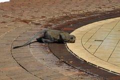 Monkey le boire d'une piscine à un terrain de camping en parc national de Pilanesberg Photographie stock