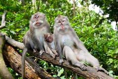 Monkey le famille dans la forêt, Ubud, Bali Images stock