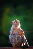 Monkey le lait boisson de mère et de bébé du sein et du point de contact de jouer Photographie stock