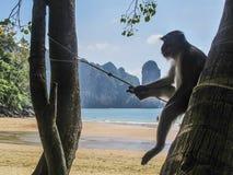 Monkey le refroidissement dans ao Nang, Thaïlande Photographie stock libre de droits