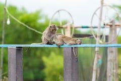 Monkey le toilettage de couples, recherchant l'insecte de coutil de poux sur le verrat en bois Photographie stock