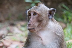 Monkey le visage Image libre de droits
