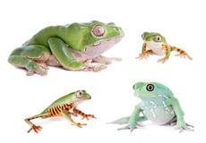 Monkey Leaf Frogs set on white Stock Image