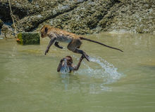 Monkey leaping out of water in rock pool Hua Hin Thailand. Stock Images