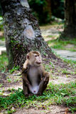 Monkey on a leash Stock Photo