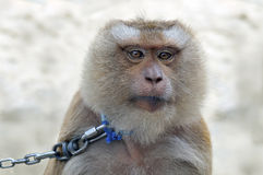 Monkey on a leash from a metal chain. Stock Image