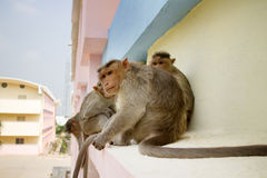 Monkey on ledge of multistory building 1. Problem of cohabitation of humans and animals bionomics. Indian macaques on ledge of multistory building stealing food Royalty Free Stock Images