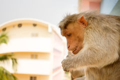 Monkey on ledge of multistory building 2. Problem of cohabitation of humans and animals bionomics. Indian macaques on ledge of multistory building stealing food Royalty Free Stock Photography