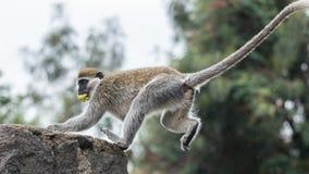 Monkey on a ledge Royalty Free Stock Photos
